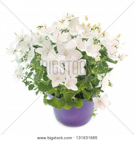 white bellflower in front of white background