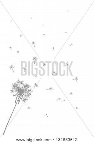 Gray dandelion background - modern  vector illustration.