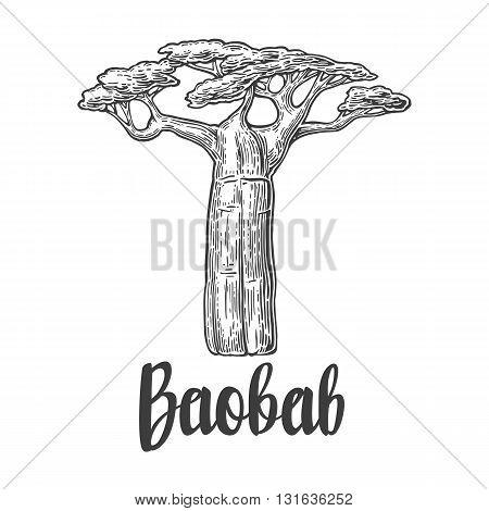 Baobab tree. Vector vintage engraved illustration on white background. Hand drawn sketch