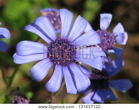Blue Spring Flowers, Cape Town South Africa 02