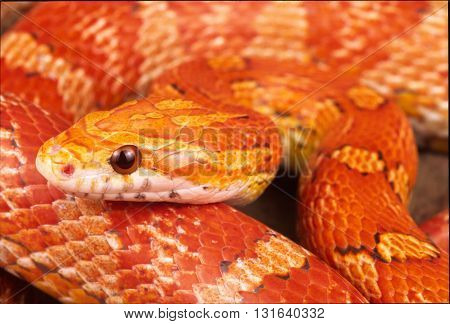 The corn snake a North American species of rat snake