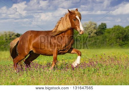 Beautiful red horse with long blond mane run in spring field with violet flowers
