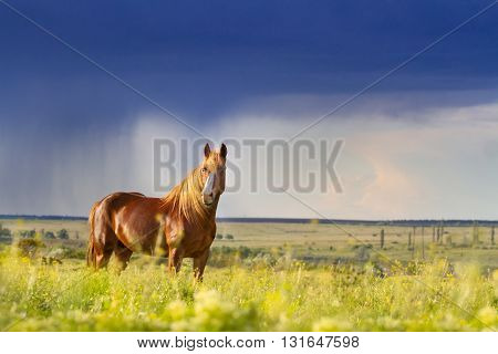 Red horse with long mane in flower field against rainy dark sky