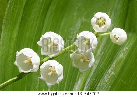 Fragrant lily of the valley on a background of green leaves. Macro. Fresh sprig of lily of the valley illuminated by diffused light.