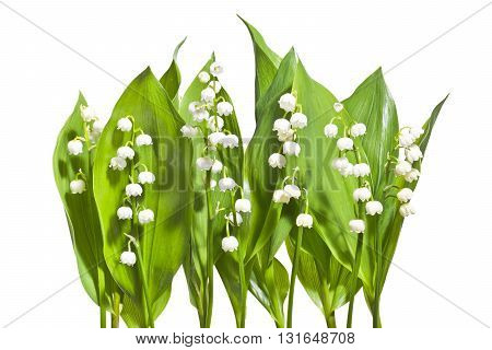 Bouquet of lily of the valley on a white background. Blooming fresh lilies of the valley isolated on white background.