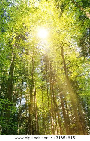 Bright sunburst through fresh green spring foliage in the canopy of a forest of tall trees in a forestry plantation casting a sunbeam to the ground
