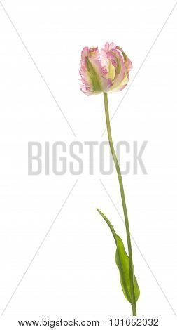 bright beautiful colorful pink and green tulip parrot varieties on a thin long stem with green leaf isolated on white background