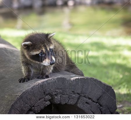 Close up image of a young raccoon, standing on a fallen log.
