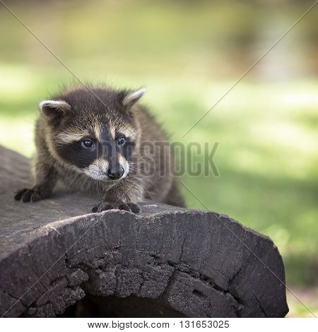 Close up image of a young raccoon standing on a fallen log.