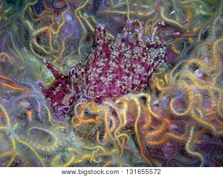 California Sea Hare surrounded by Spiny Brittle Stars found off of central California's Channel Islands