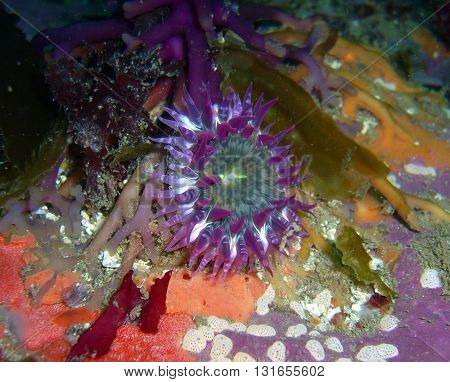 Purple anemone anchored on kelp found off of central California's Channel Islands.