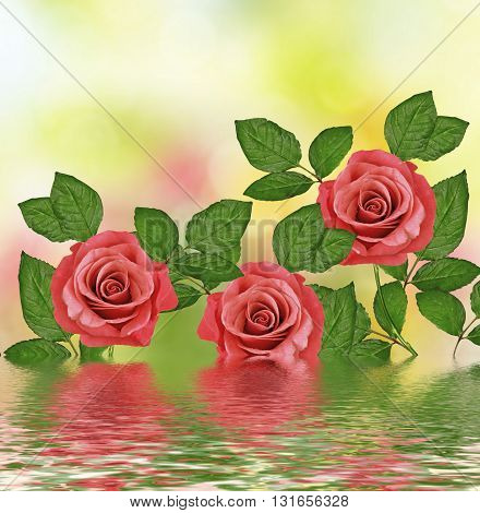 The buds of flowers roses. Holiday card. Floral background of roses.