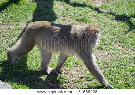 A Snow Monkey outside during the spring
