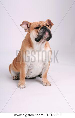 Bulldog Looking Away