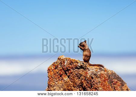 A California ground squirrel (Otospermophilus beecheyi) is watching the great Ocean on a small rock near a golf corse at 17 Mile Drive while eating.