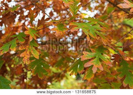 Closeup of White Oak trees leaves turning into Autumn yellow shade in Coonawarra during fall season in South Australia