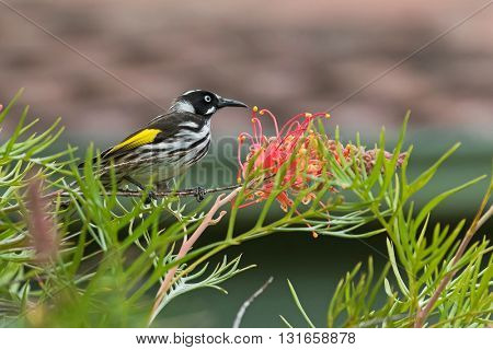 Closeup of New Holland Honeyeater bird (Phylidonyris novaehollandiae) perching on a branch of Grevillea spider flower in Australia