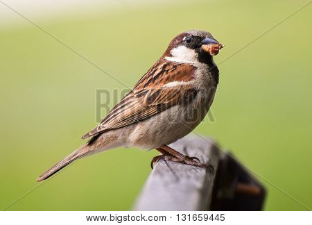 Sparrow eating maggot on wood, closeup, isolated.
