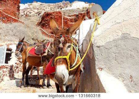 Donkeys to transport tourists from the harbor to the village  Oia located at the top of the mountain.