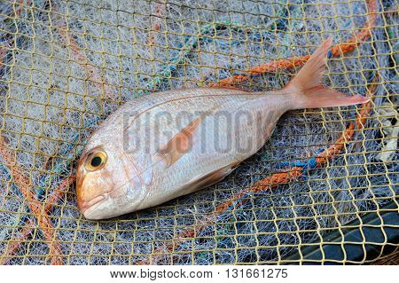 Red Porgy Sea Bream popular marine cultured fish on fishing nets