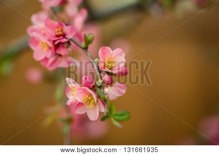 Beautiful quince flowers in blossom, selective focus