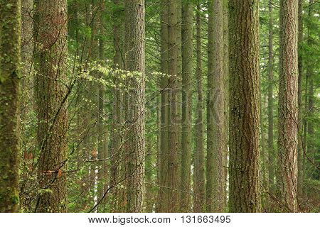 a picture of an exterior Pacific Northwest Douglas fir tree grove in winter