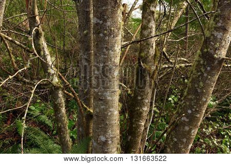 a picture of an exterior Pacific Northwest forest alder tree grove