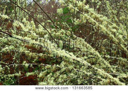 a picture of an exterior Pacific Northwest forest of mossy  hazelnut tree in winter