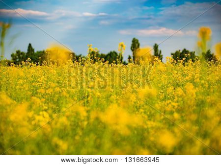 golden field of flowering rapeseed with beautiful clouds on sky in Germany