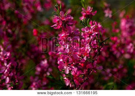 Pink Flowers Blossom
