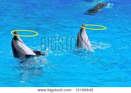 Two Dolphins Playing With Rings