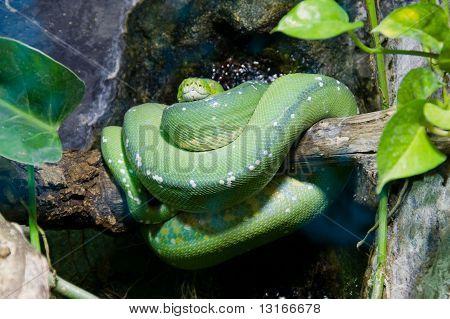 Green Python On Branch