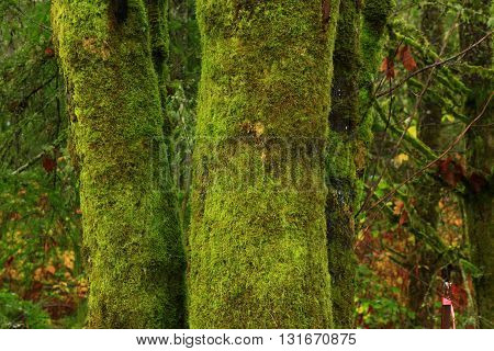 a picture of an exterior Pacific Northwest forest of mossy  dogwood tree trunks