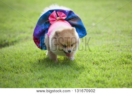Pomeranian dog on the lawn it wear clothes for dog and clothes of pom has ping and blue colo