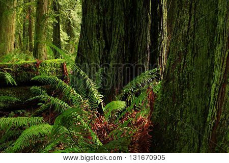 a picture of an exterior Pacific Northwest forest of Douglas fir trees and sword ferns