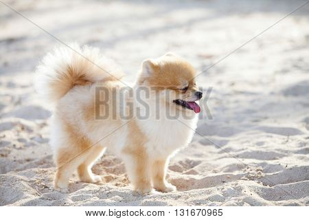 Pomeranian dog on the white sands has it has white and brown color fur and it looking for something.