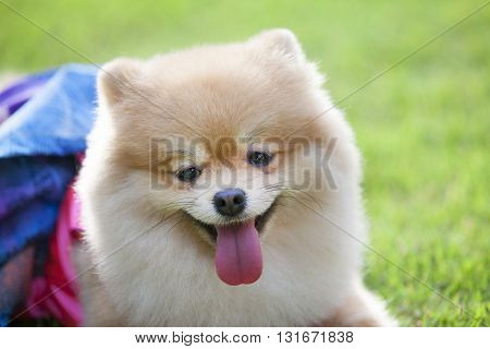 The cute pomeranian dog. Happy pomeranian dog.