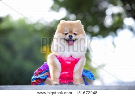 Pomeranian dogs sitting there staring at beautiful view owner.