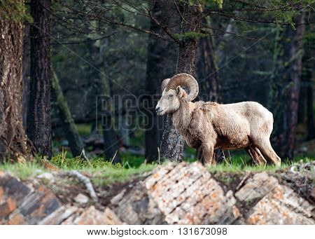 Wild Rocky Mountain bighorn sheep male standing in the morning forest