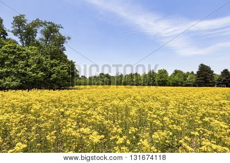 An idle Indiana agricultural field is painted vivid yellow with butterweed (cressleaf groundsel) in the late spring.