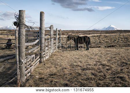 Portrait Of Iceland Pony
