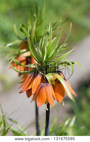 orange lily blooming in the spring (Fritillaria imperialis)
