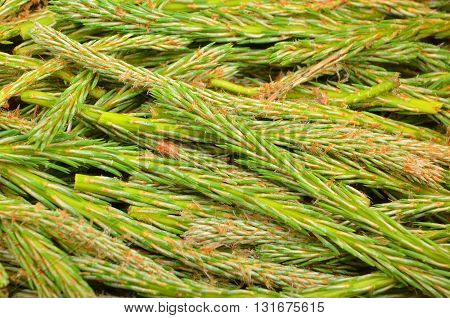 Fir Tree Sprout