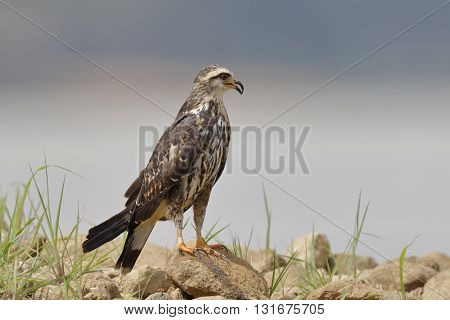 Female Snail Kite Perched On Rocks - Panama