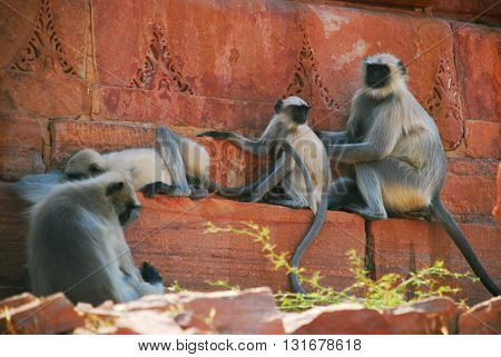 Gray langur family taking care of each other in different positions. Certainly a relaxing moment for all of them - Jaipur India