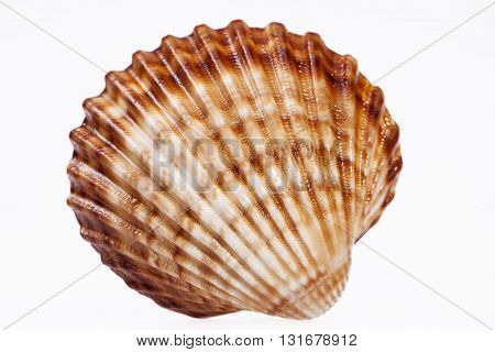 single sea shell isolated on white background close up