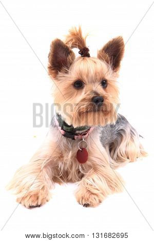 Yorkie Puppy Dog