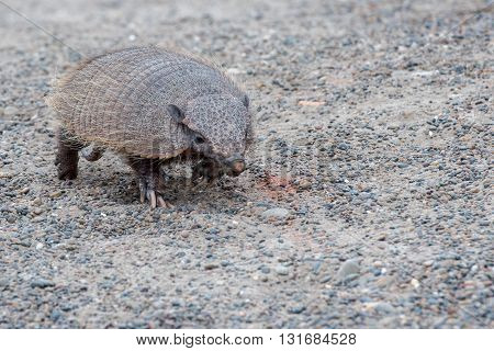 armadillo close up portrait in patagonia argentina