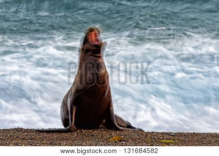 Sea Lion On The Beach Blur Move Effect
