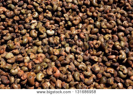 The cashew tree (Anacardium occidentale) is a tropical evergreen tree that produces the cashew seed and the cashew apple.